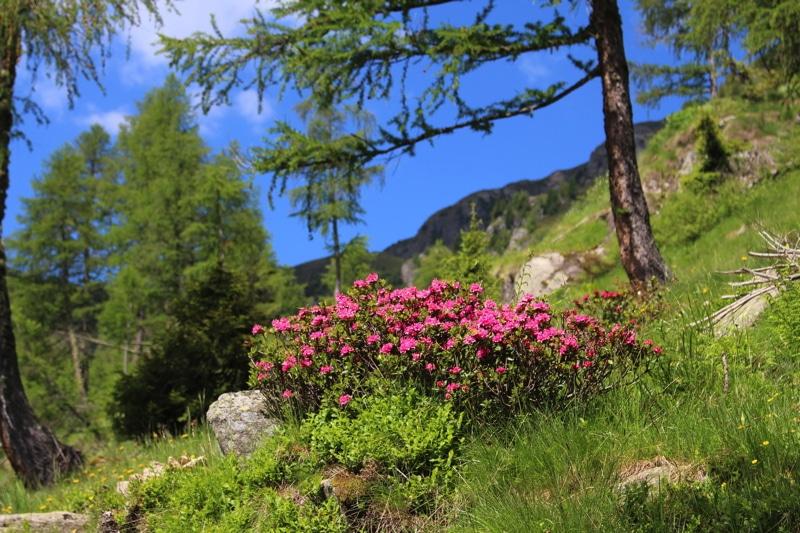 Rododendro.